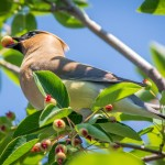 Bird eating fruit in tree by Scott Hill Photography