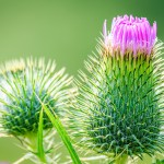 Blooming thistle by Scott Hill Photography
